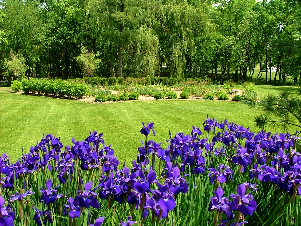 Plant of the week siberian iris gardenart siberianiris izmirmasajfo Choice Image